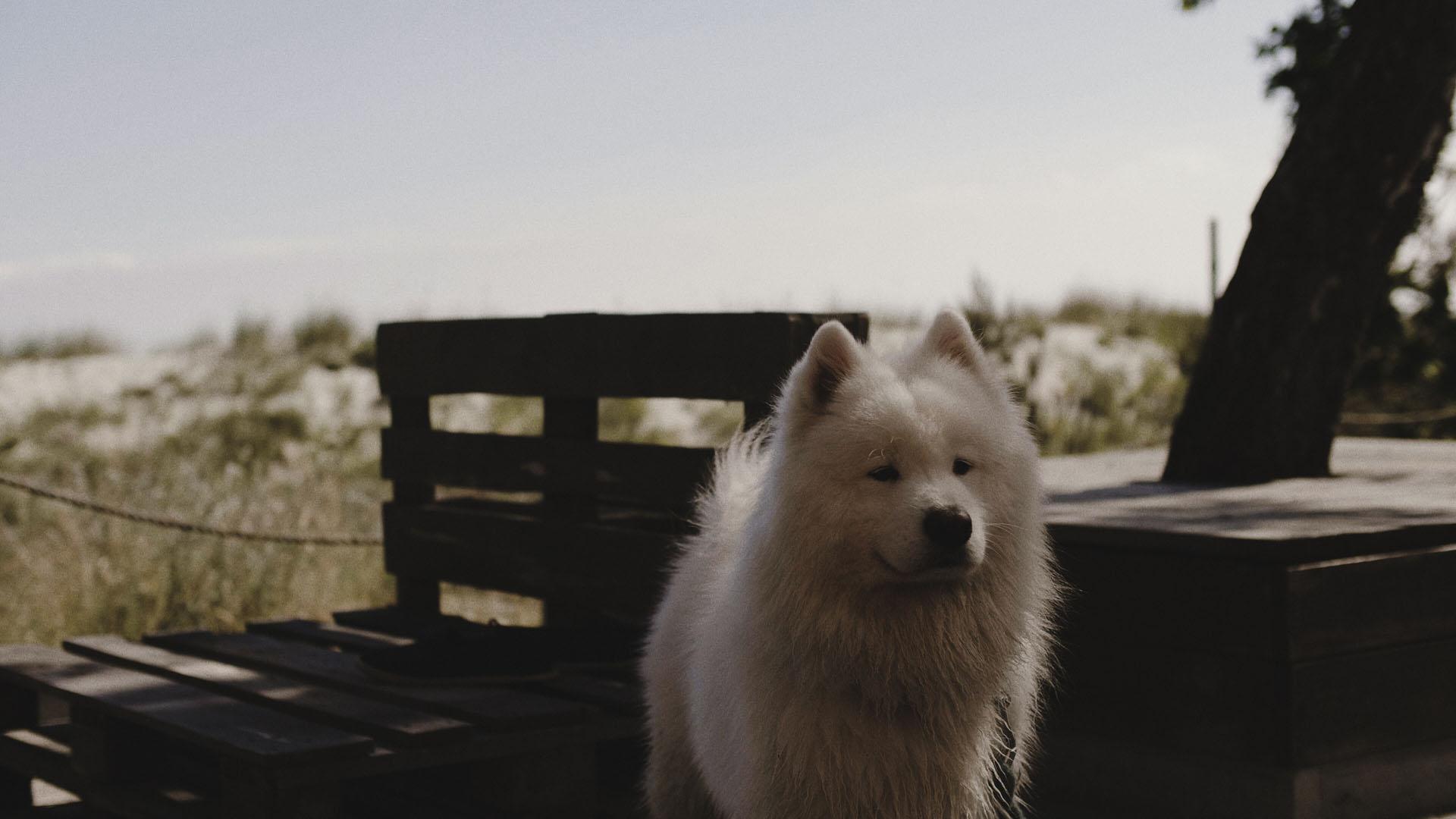 13 pies na ślubie, pies na wesele ślub z psem