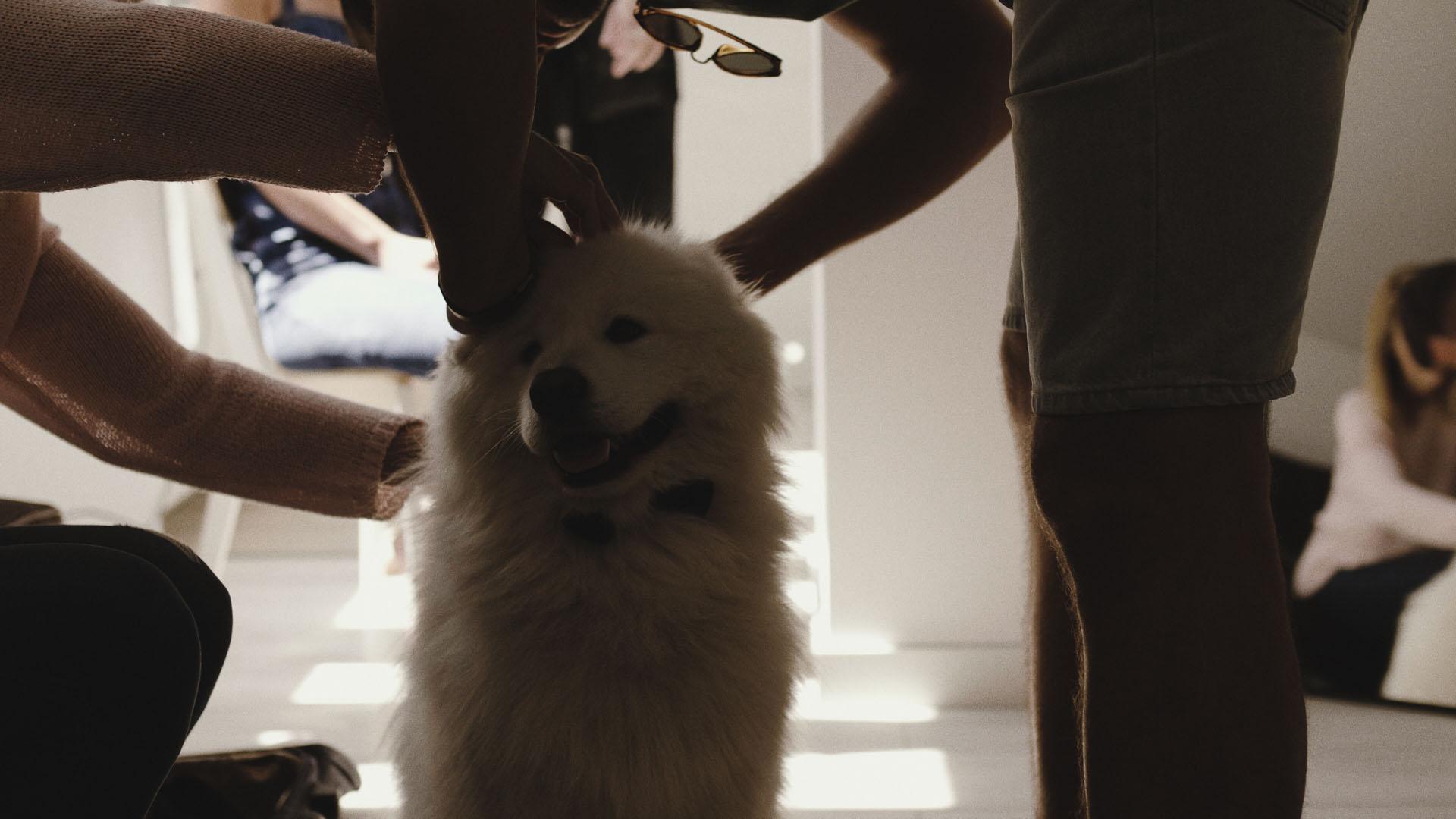 51 pies na ślubie wesele z psem samojed